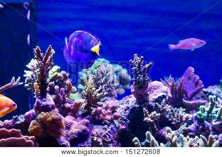 Marine aquarium: deep blue underwater scene with corals and fishes