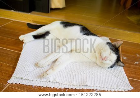 The old thai domestic black-white cat sleeping on the flor