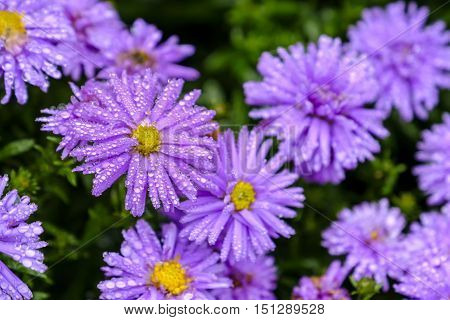Beautiful pink purple aster flowers with yellow center. Selective focus on flower on left covered in jewel -like raindrops