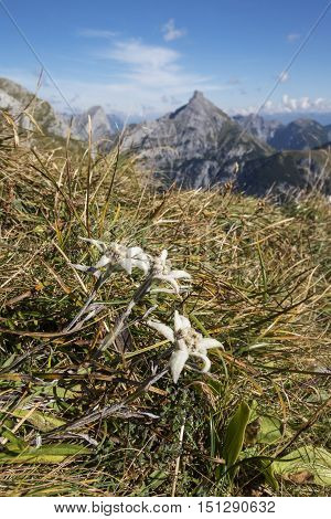 edelweiss flower in the karwendel alps on a sunny day