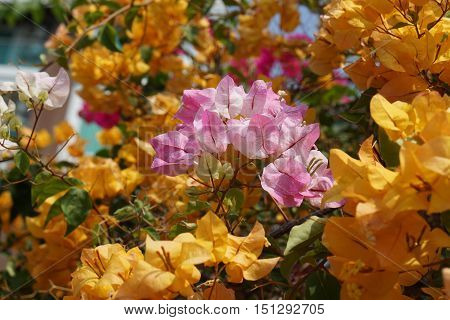 bi-color of pink white bougainvillea surround by yellow bougainvillea Flower in nature bright evening sun light make photo with warm yellow tone