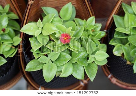 succulent plant know as heartleaf iceplant, baby sun rose,Aptenia ,Red Apple hang in special bamboo weav-crafted pot holder
