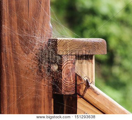 Large Grass Spider guarding her newly hatched brood of baby spiders in a web located on a wood deck hand rail