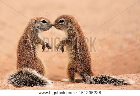 Wild free Ground Squirrels touching noses in affection