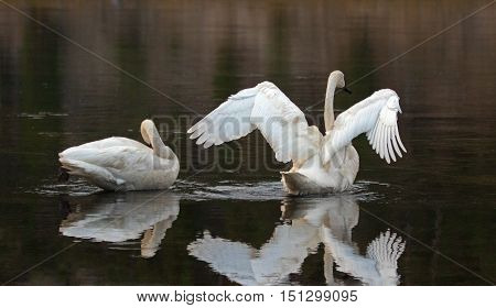 Pair of Trumpeter Swans reflecting their wings in the Yellowstone River in Yellowstone National Park in Wyoming USA