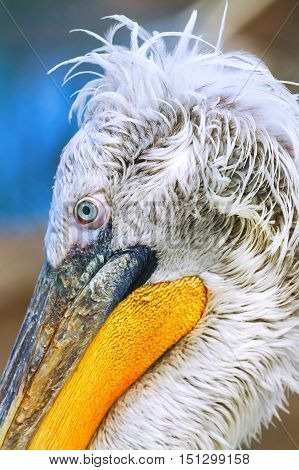 Pelecanus Pelican bird close up. animal nature