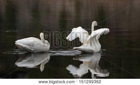 Pair of Trumpeter Swans spreading their wings in the Yellowstone River in Yellowstone National Park in Wyoming USA