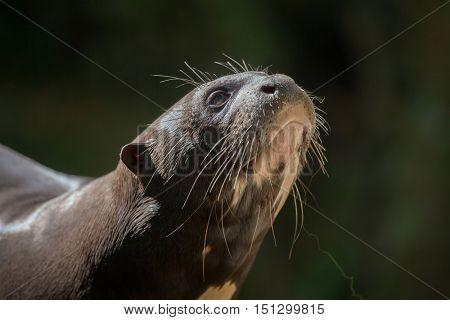 Giant otter (Pteronura brasiliensis), also known as the giant river otter. Wildlife animal.