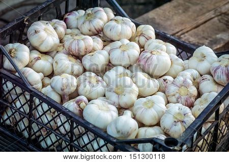 Garlic - a perennial herb belonging to the family of onion. Its sophisticated bulb consists of 3-20 bulblets - cloves. garlic flowering time is in July - August.