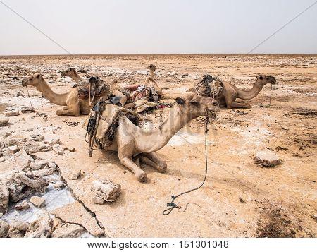 Dromedary camels used to transport amole salt slabs across the desert in the Danakil Depression in Afar region Ethiopia.