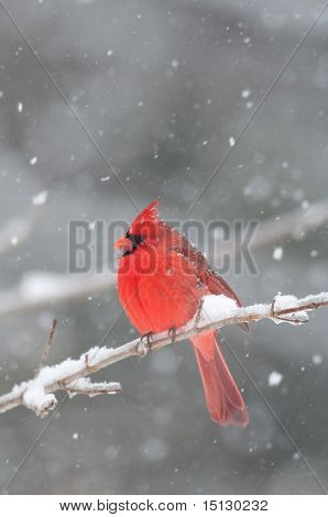 Northern cardinal sits perched on a snow covered branch following winter storm poster