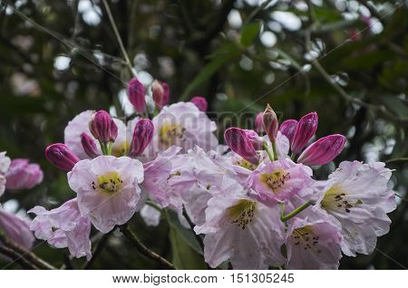 The blossoming azalea flowers closeup background and texture