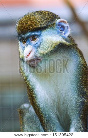animal monkey portrait Cercopithecus. He sits thoughtfully.