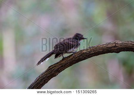 Pied Fantail Bird Sitting On Bracnh