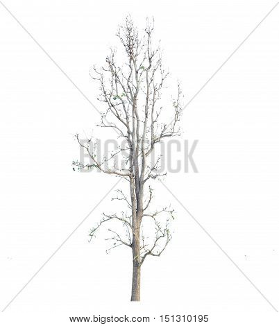 Dry litchi tree, isolated on white background