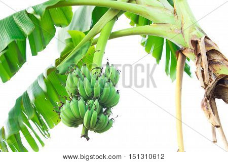 Banana tree with a bunch of bananas.Bunches of green bananas growing in a tropical rain forest.Heap of green banana.Banana tree. Bananas, ripe cultivated banana in garden