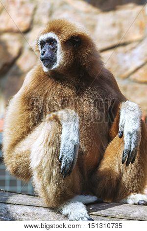 Portrait of White-handed gibbon (Hylobates lar) monkey.