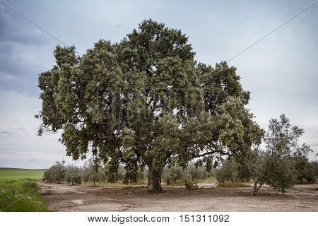 Oak holms ilex in a andalusian forest. Landscape in Jaen Andalusia south of Spain