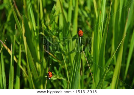 Two Red Ladybugs In Green Grass Of Summer Meadow