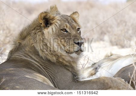 Portrait of a beautiful youn male lion isolated from the background