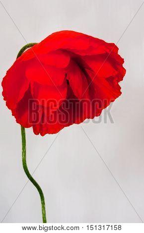 sad wild poppy isolated on a gray background