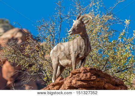a desert bighorn sheep ewe in zion national park utah