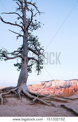 Lone pine tree struggles to survive on the edge of Bryce Canyon Utah at sunset