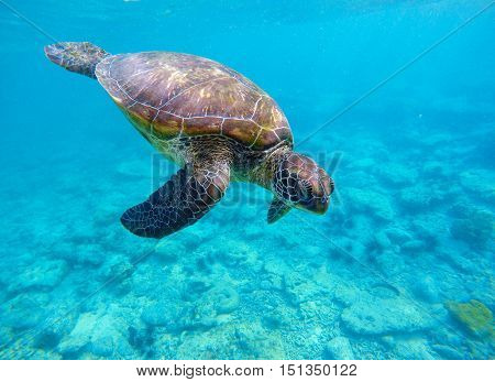 Sea turtle in blue water. Green sea turtle diving in coral reef. Sea tortoise. Green turtle swims in sea. Snorkeling with turtle in lagoon. Aquatic image of extreme underwater sport with text place