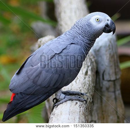 side view of Congo African Gray parrot perching on a log, aviary near Songkhla, Thailand
