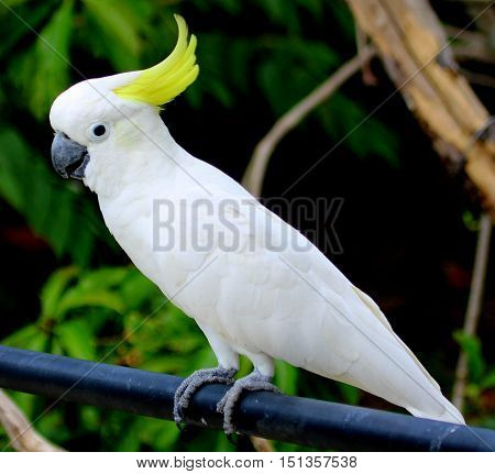 Sulfur-crested Cockatoo perching on railing in large aviary near Songkhla, Thailand, facing angling to left of photo