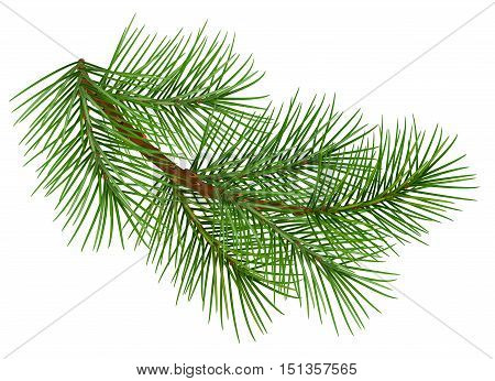 Green fluffy pine branch symbol of christmas. Isolated on white background. Illustration in vector format