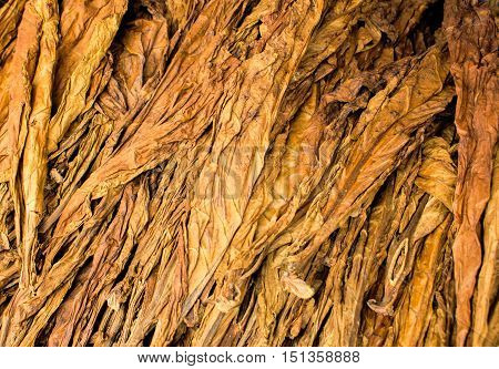 Large dried tobacco leaves. Pile of gold tobacco leaf on the market display. Drying fresh tobacco. Tobacco leaf bunch wallpaper or background image. Natural smoking ingredient. Cigarette raw material