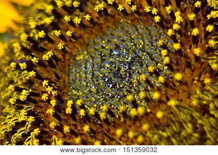 Middle of Sunflower Close-Up garden plant beaut