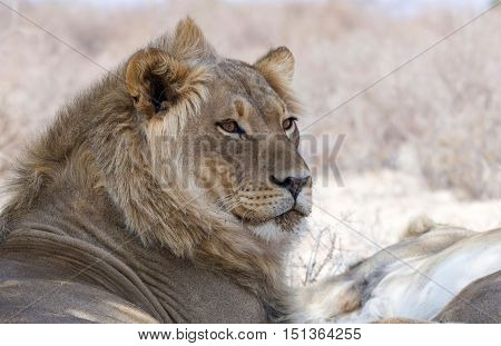 Portrait of a youn male lion isolated from the background