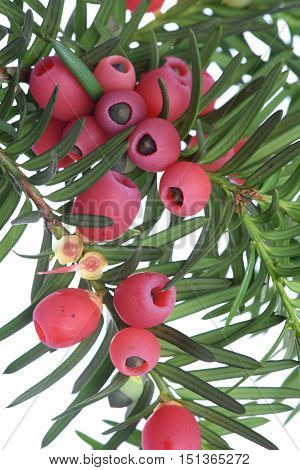 Yew twig with fruits isolated on white background