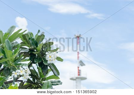 frangipani flower plumeria flower white plumeria with Speaker alarm or Warning beach background