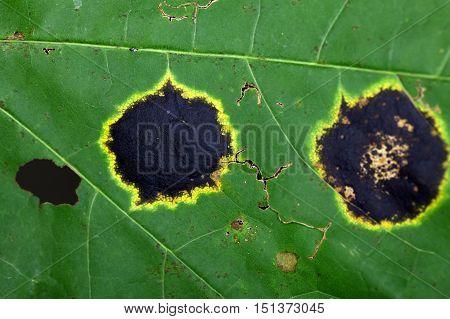Spot of the plant pathogen Rhytisma acerinum on a maple leaf.