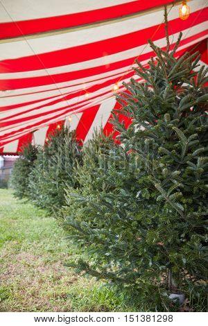 Christmas trees market. Choice of beautiful holiday trees.