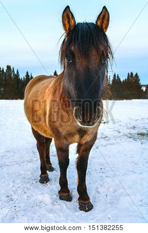 horse brown on white snow. Vyatskaya breed Russia