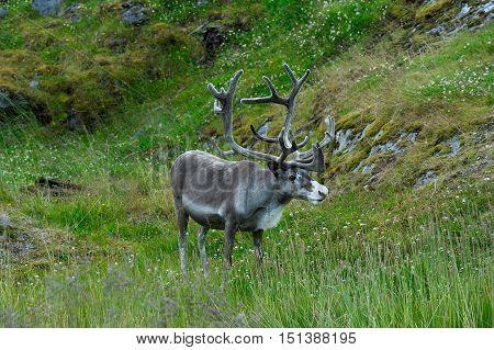 Reindeer near Nordkapp Cape Finnmark province Norway