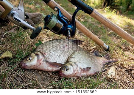 Several Common Bream Fish On The Natural Background. Catching Freshwater Fish And Fishing Rods With