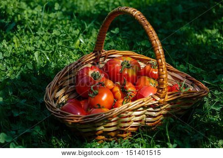 Basket with resh tomatoes gathered in a vegetable garden