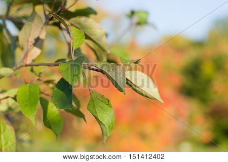 The leaves of apple trees in the fall.Bright sunlight.