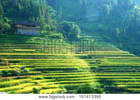 The rice fields scenery in autumn, Guilin,China.