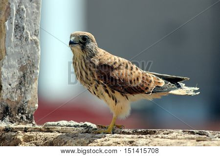 Young lesser kestrel on its first flight