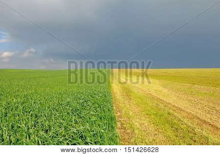 Field divided in half into two parts. Sown crops and grass against the grey sky.