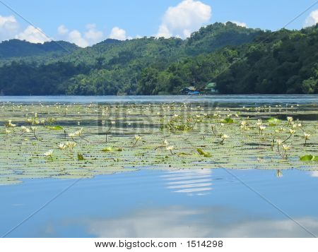 Waterlily On The Rio Dulce, Livingston, Guatemala