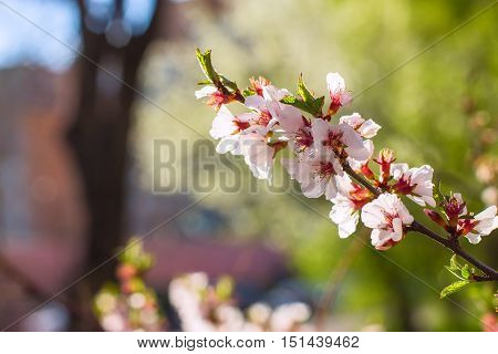 Cherry Flowers On Twig