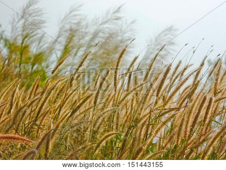 Yellow Timothy Grass With Rim Light Vingtage Background