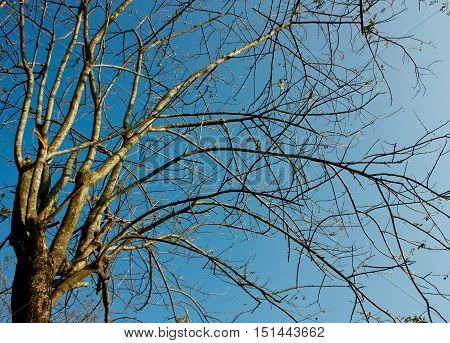 Tree With Leafless Limbs In Clear Blue Sky